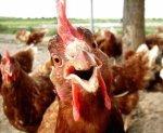 Во Франции началась вспышка птичьего гриппа