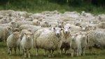 Племенное поголовье овец в Астраханской области увеличилось на 15%