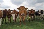 На Кубани поголовье коров за год выросло всего на тысячу голов