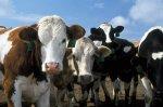В 2015 году в Орловской области поголовье КРС увеличилось на 112%