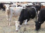 В России наблюдается положительный темп прироста погoловья скота и птицы