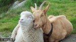 Иордания выразила заинтересованность в поставках мелкого рогатого скота из России
