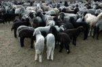 Сроки выплаты убытков российским животноводам сокращены вдвое