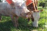 Все свиньи, коровы и овцы в Беларуси будут носить бирки c кодом BY