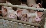Белоруссия ввела запрет на ввоз свинины из Кировоградской области Украины из-за АЧС