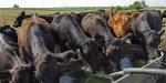 Как будет развиваться специализированное мясное скотоводство