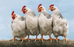 Новую птицефабрику построят к концу года на Ставрополье