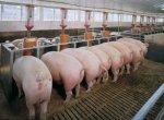 Новый свиноводческий комплекс в Тюмени даст возможность увеличить производства мяса на 25%