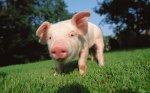 В Украине продолжает снижаться поголовье коров и свиней