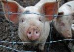 Беларусь запретила ввоз свинины из Черновицкой области Украины и Липецкой области РФ из-за АЧС