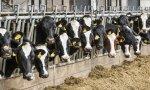 В Ростовской области снижается поголовье крупного рогатого скота