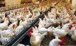 Производители курятины на Камчатке получат господдержку