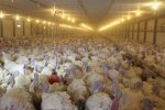 В Тюменской области построят производство деликатесного мяса индейки