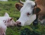 В Калининградской области рекордно выросло поголовье коров и свиней