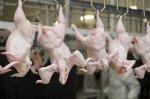 За полгода в России произведено 2,2 млн тонн мяса птицы