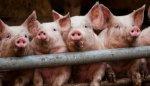 АЧС грозит опустошить не только свинарники России, но и прилавки