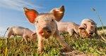 На Дону усилят контроль над содержанием свинопоголовья