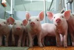 Новый свиноводческий комплекс появится на территории Амурской области