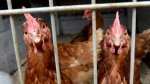В Беларуси ограничат ввоз птиц из Украины, Австрии и Румынии