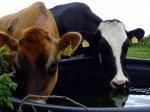Поголовье скота на Ставрополье выросло почти на 10%