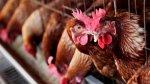 Россия может запретить ввоз из Польши цыплят и инкубационных яиц