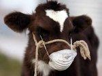 Белоруссия временно ограничила ввоз в страну забайкальского мяса из-за ящура