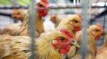 Белоруссия временно запретила импорт мяса птицы с Западной Украины