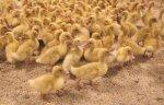 Новая утиная ферма под Новосибирском обеспечит мясом Сибирь и Китай