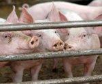 Свиноводам оплатят строительство новых ферм