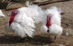 В Хабаровском крае разводят индейку французской породы