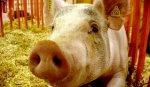 На Кубани после выявления АЧС уничтожили более 80 тыс. свиней