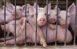 «Камский бекон» построит свинокомплекс, несмотря на протесты