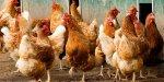 Беларусь запретила ввоз птицы из Московской области