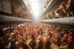 Птичий грипп в Подмосковье: ветеринары следят за миллионом кур