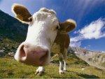 В Татарстане ведется работа по увеличению поголовья КРС мясного направления продуктивности