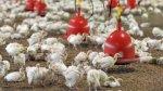 В Пензе обсудили инвестпроект по созданию родительского стада индейки