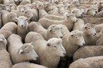 Белгородский АПК «Промагро» открыл овцеводческое хозяйство