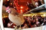 Россельхознадзор выявил новый очаг птичьего гриппа в Подмосковье
