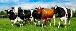 В Красноярском крае сократилось поголовье коров