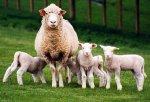 Самарских овец будут разводить в Белгородской области