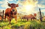 Ситуация в животноводстве Алтайского края стабилизируется