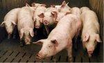 В Пензенской области построят два новых свинокомплекса