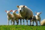 Грузинские власти защитят чистоту овечьих пород