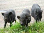 Свердловские студенты выращивают чистоплотных азиатских свиней для фермеров