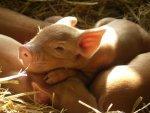 Россия временно ограничила поставку свиней из Румынии