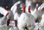 Американская компания запустит в Ульяновской области производство мяса индейки