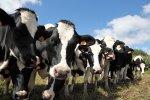 60% новосибирских коров больны лейкозом