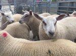 Ирландские мясокомбинаты используют импортных ягнят, чтобы сбивать цены