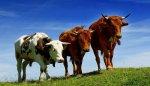 Поголовье крупного рогатого скота в Подмосковье в августе 2017 года снизилось на 2,1%