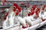 На птицефабрике в Нидерландах зафиксирована вспышка птичьего гриппа